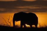 African Elephant at Sunset Photographic Print by Hal Beral