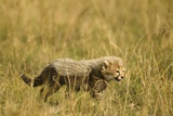 Cheetah Cub Playing in the Grass in the Masai Mara Photographic Print by Joe McDonald