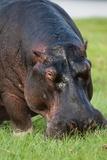 Hippopotamus Grazing, Chobe National Park. Fotografisk tryk af Sergio Pitamitz