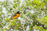 Baltimore Oriole Photographic Print by Gary Carter