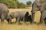 Family of African Elephants Photographic Print by Michele Westmorland