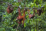 A Group of Orangutans (Pongo Pygmaeus) at the Sepilok Orangutan Rehabilitation Center Photographic Print by Craig Lovell