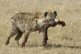 Spotted Hyaena Photographic Print by Hal Beral