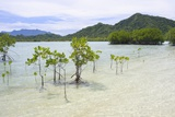 Young and Mature Mangrove Trees Photographic Print by Fadil Aziz/Alcibbum Photography