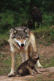Grey Wolf with Pup Fotografisk tryk af W. Perry Conway