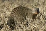 Banded Mongoose Photographic Print by Hal Beral