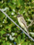 Eastern Phoebe Photographic Print by Gary Carter