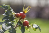 Rosehips Photographic Print by Joanna Jackson
