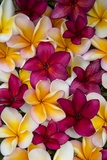 Plumeria in Mass Display Photographic Print by Terry Eggers