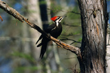 Pileated Woodpecker on Cypress Tree Branch Photographic Print by W. Perry Conway