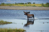 Moose Crossing Brooks River Photographic Print by W. Perry Conway