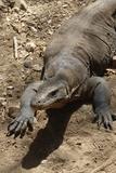 Front End of a Komodo Dragon Lizard Papier Photo par W. Perry Conway