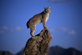 Bobcat Perched atop Rock Photographic Print by W. Perry Conway