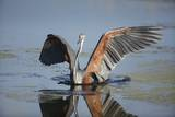 Goliath Heron with Spread Wings Photographic Print by Richard Du Toit