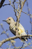 Gila Woodpecker Photographic Print by Hal Beral