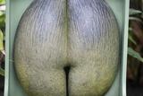 Coco De Mare Nut Photographic Print by Joanna Jackson