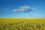 Rape Field and Clouds Photographic Print by Frank Krahmer