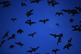 Mexican Freetail Bats near Bracken Cave Photographic Print by W. Perry Conway