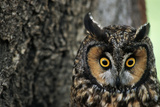 Long-Eared Owl with Suprised Expression Photographic Print by W. Perry Conway