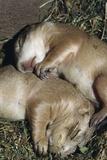 Sleeping Prairie Dog Pups Reprodukcja zdjęcia autor W. Perry Conway
