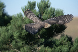 Young Northern Goshawk Flying from Ponderosa Pine Photographic Print by W. Perry Conway