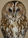 Tawny Owl Photographic Print by Robert Dowling