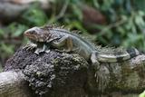 Green Iguana (Iguana Iguana) Photographic Print by Sergio Pitamitz