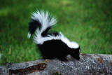 Striped Skunk Photographic Print by W. Perry Conway