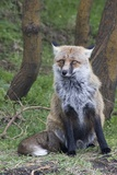 Red Fox Photographic Print by Hal Beral