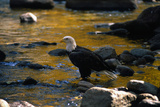 Bald Eagle Waits on a Rock in the Platte River Photographic Print by W. Perry Conway