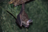 Hanging Fringe-Lipped Bat Photographic Print by W. Perry Conway