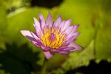 Pink Water Lily, Maui, Hawaii Reproduction photographique par Ron Dahlquist