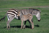 Common Zebra with Young Photographic Print by W. Perry Conway
