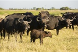 Family of African Buffalo Photographic Print by Michele Westmorland