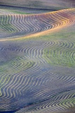 First Light on Freshly Swathed Pea Fields Photographic Print by Terry Eggers