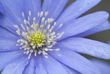 Blue Daisy Photographic Print by Joanna Jackson