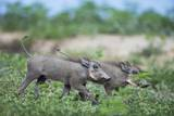 Warthog Piglets, Botswana Photographic Print by Richard Du Toit