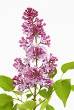 Common Lilac Photographic Print by Frank Krahmer