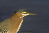 Green Heron Closeup Photographic Print by Hal Beral