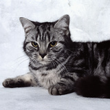 Grey Tabby Cat Lying Down Photographic Print by Robert Dowling