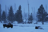 Bison in Snow Photographic Print by W. Perry Conway