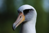 Laysan Albatross Photographic Print by W. Perry Conway