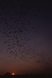 Mexican Freetail Bats at Night Photographic Print by W. Perry Conway