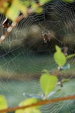 Orb Web Spiders - Garden Spider Photographic Print by Gary Carter