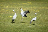 Blue Cranes Courting Photographic Print by Richard Du Toit