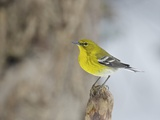 Pine Warbler Photographic Print by Gary Carter