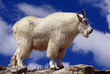 Mountain Goat Photographic Print by W. Perry Conway