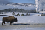 Bison Standing near Geysers in Winter Photographic Print by W. Perry Conway
