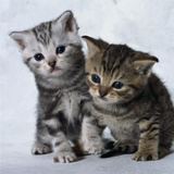 Two Tabby Kittens Photographic Print by Robert Dowling