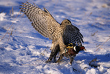 Goshawk Catching Prey Photographic Print by W. Perry Conway